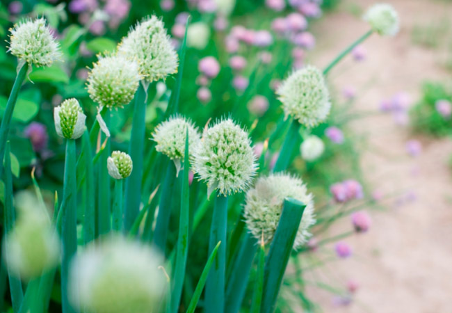 Лук алтайский Альвес: выращивание семенами