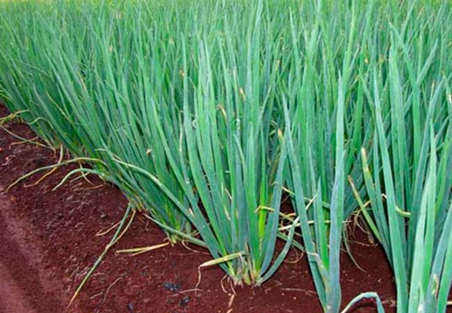 Лук Кущевка: выращивание из семян