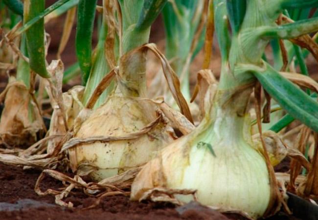 Лук репчатый одинцовец выращивание из семян