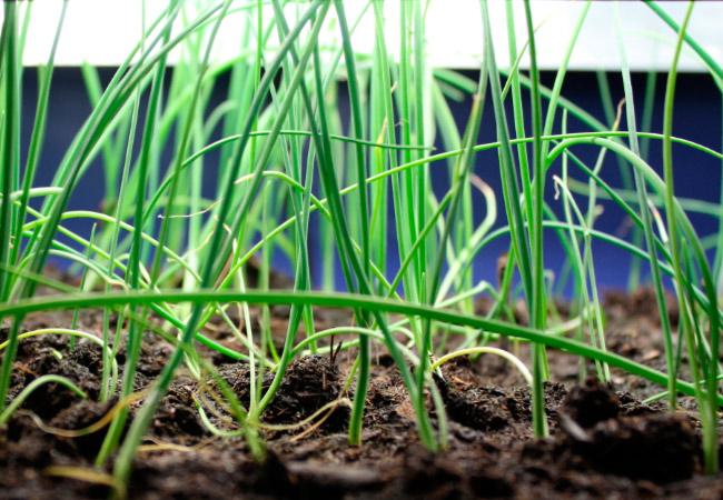 Как вырастить рассаду лука Брунсквик