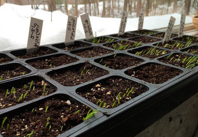 Лук батун: как выращивать рассаду на подоконнике