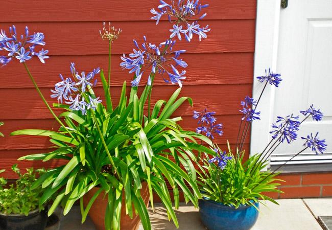 Как ухаживать за агапантусом в домашних условиях