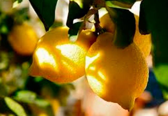 Болезни комнатного лимона