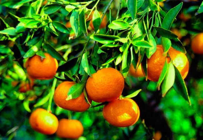 Применение масла мандарина в косметологии