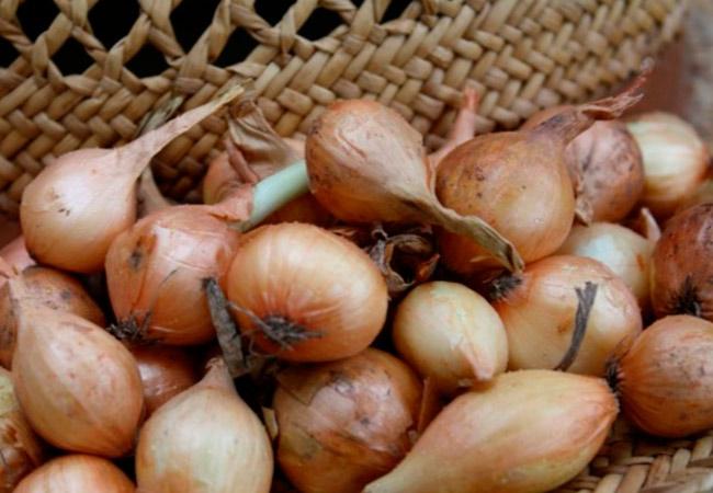 Как выбирать лучший лук севок для посадки