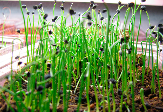 лук севок выращивание и уход