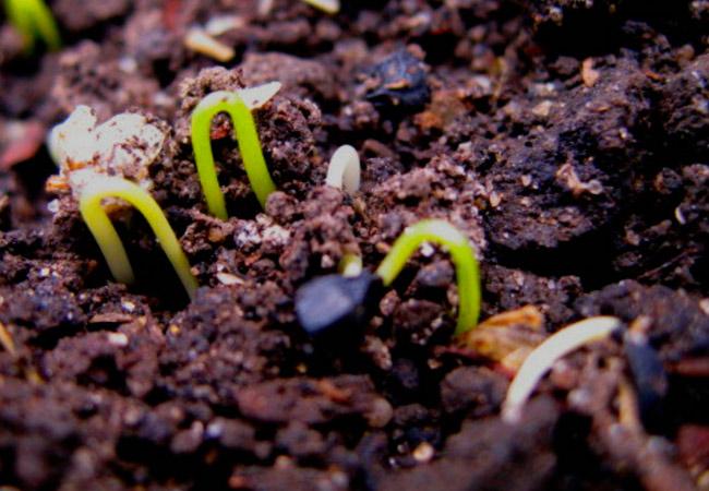 Посев семян лука на севок