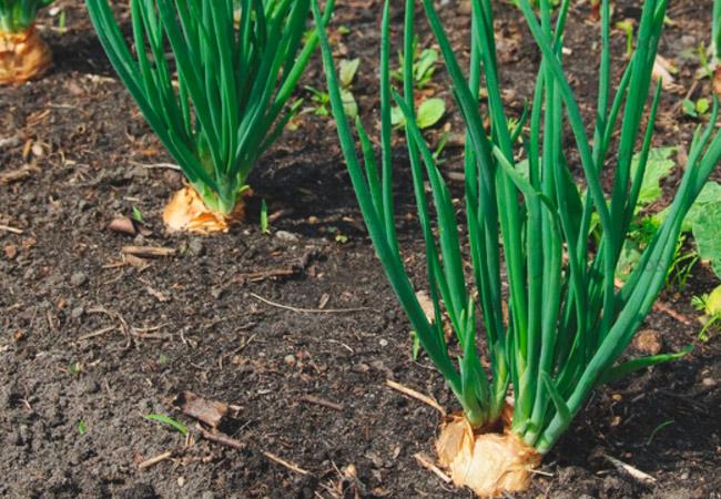 Лук шалот: посадка и уход за рассадой, как вырастить дома