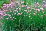 Шнитт лук выращивание дома