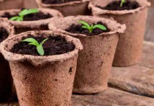 Как вырастить кабачки в торфяных горшочках