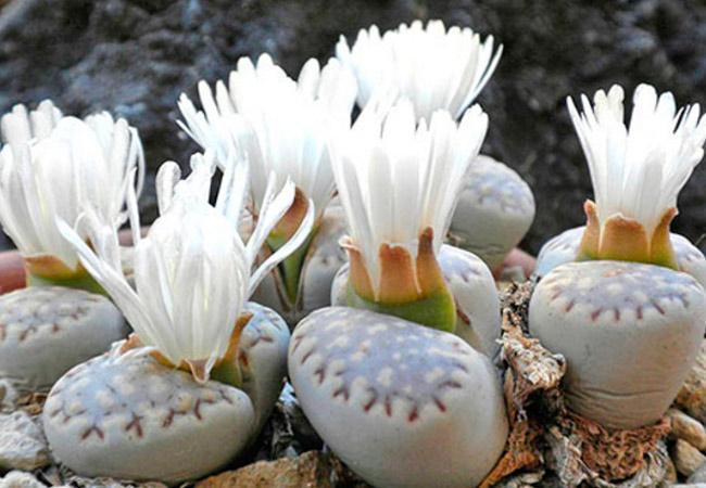 Литопс красивый (Lithops bella)