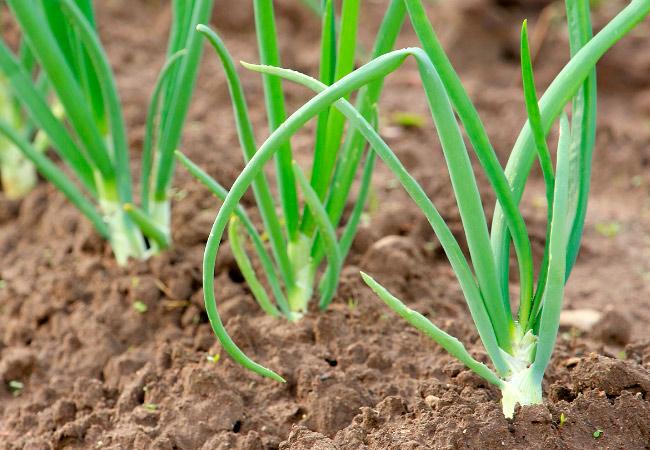 Выращивание лука-порея, полезные свойства, хранение 88