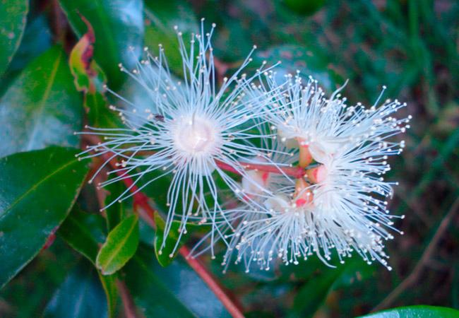 Евгения красностебельная ( Eugenia rubricaulis)