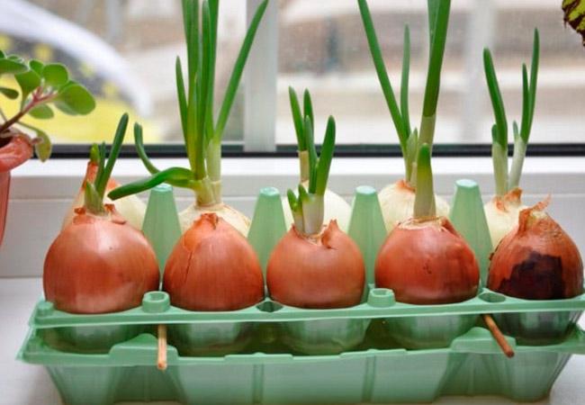 Как вырастить лук в воде: правила хорошего урожая