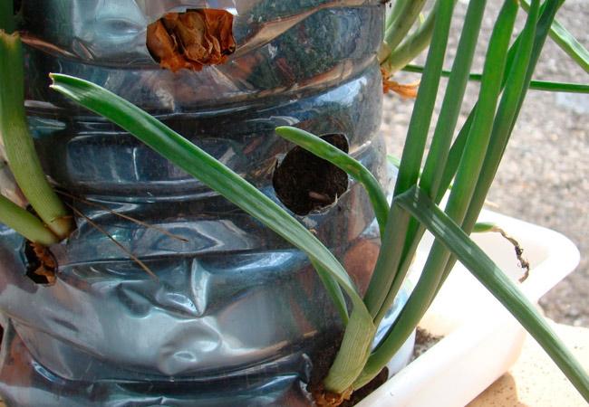 Выращивание лука в пластиковой бутылке