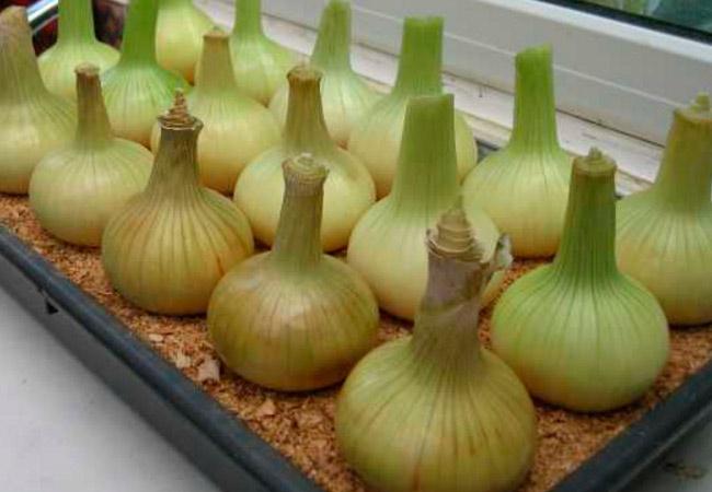 Как вырастить лук в опилках