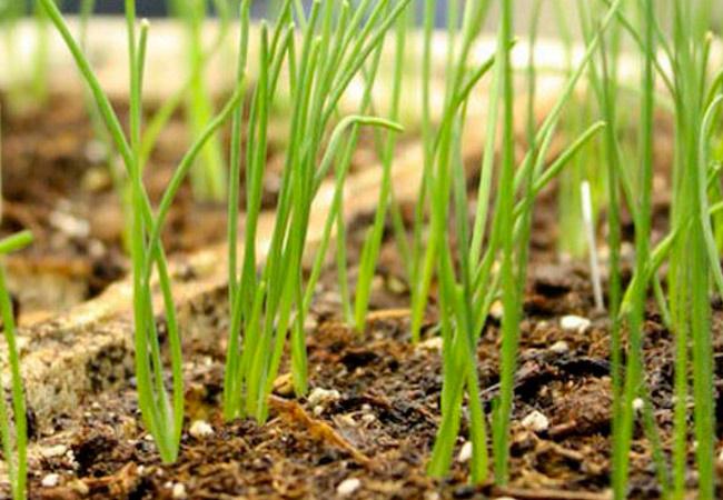 Такая обработка в дальнейшем не даст развиваться различным грибковым заболеваниям и обеспечит хороший урожай.