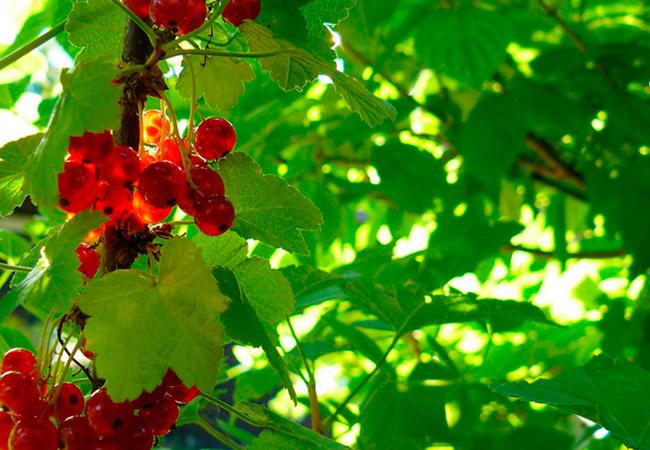 Борьба с причинами пожелтения листьев смородины