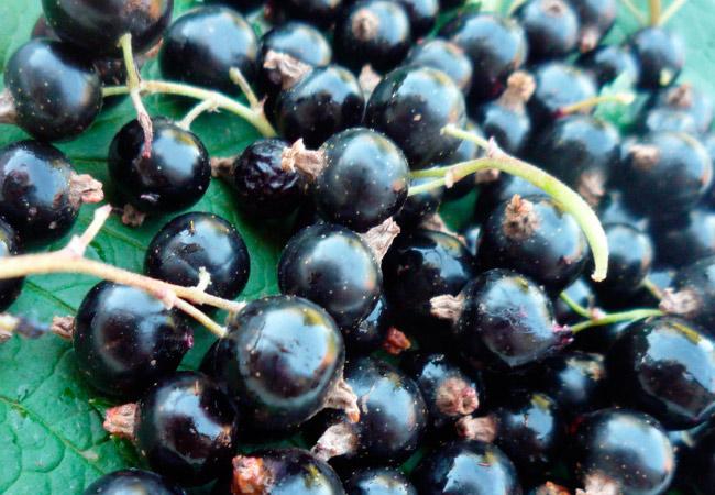Как сделать сухое вино из черной смородины