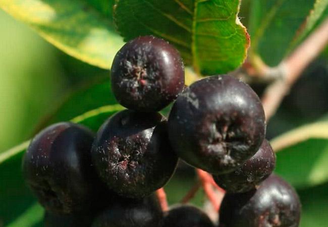 Рецепт домашнего вина из черной рябины