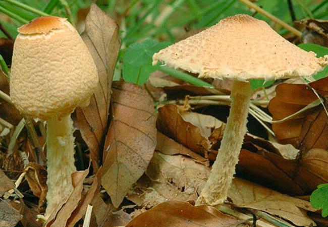 Лепиота вздутоспоровая – Lepiota ventriosospora