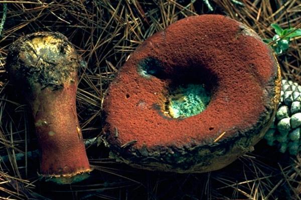 Боровик прекрасный – Boletus pulcherrimus