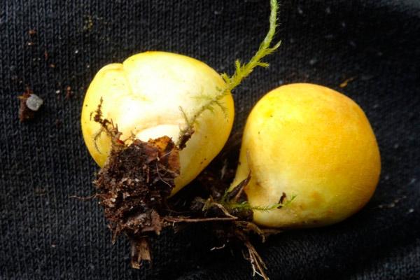 Дождевик желтоокрашенный – Lycoperdon flavotinctum