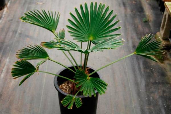 Выращивание Trachycarpusа