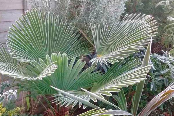 Как поливать пальму трахикарпус