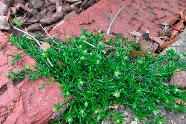 Как посадить мшанку