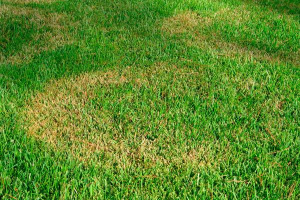 Самые частые болезни газонных трав