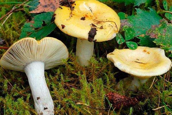 Сыроежка желтая – Russula claroflava