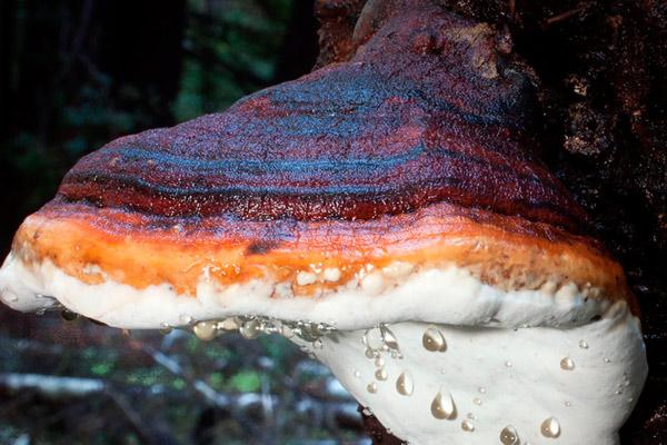 Трутовик окаймлённый – лат.Fomitopsis pinicola
