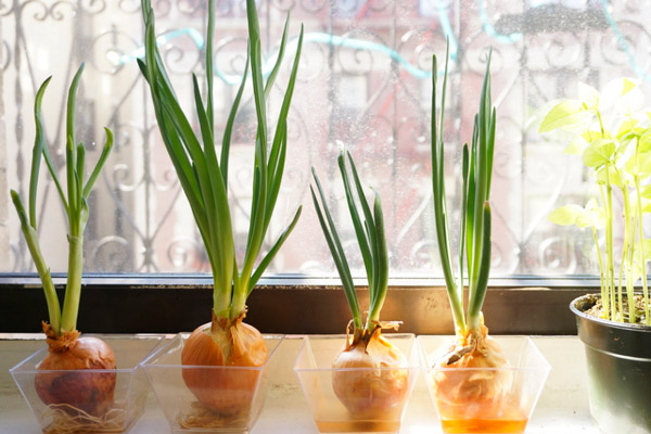 Как вырастить проросший лук в воде