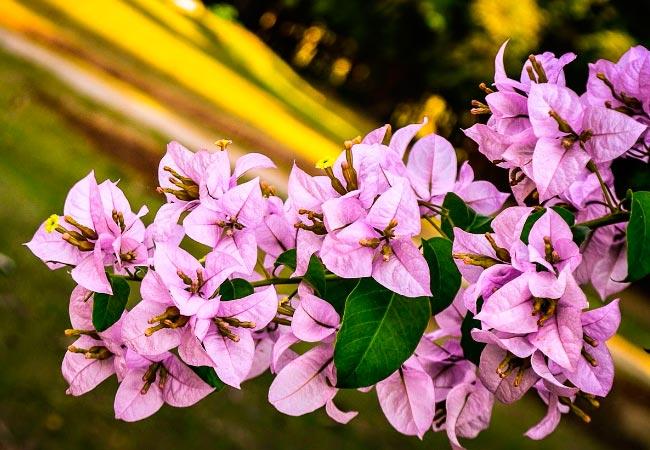 Бугенвиллия, разновидности цветка