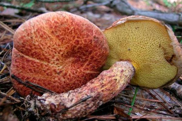 Маслёнок раскрашенный – Suillus pictus