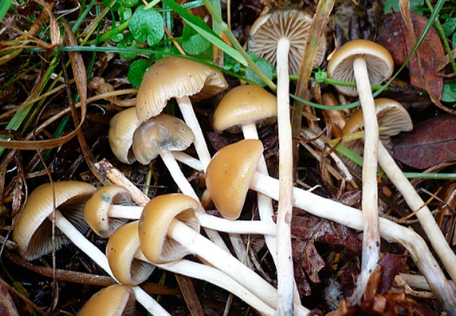 Псилоцибе чешская – Psilocybe bohemica
