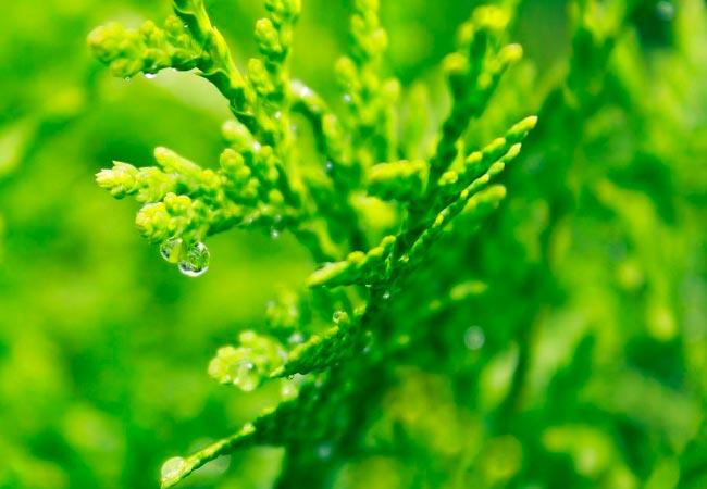Применение кипарисового масла, рецепты народной медицины
