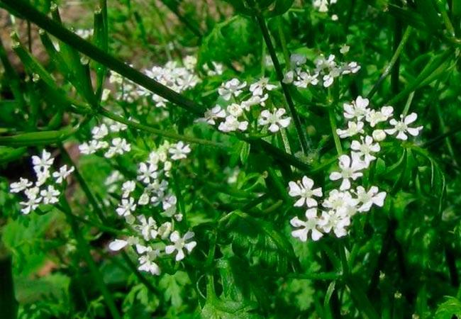 Цветение кервеля