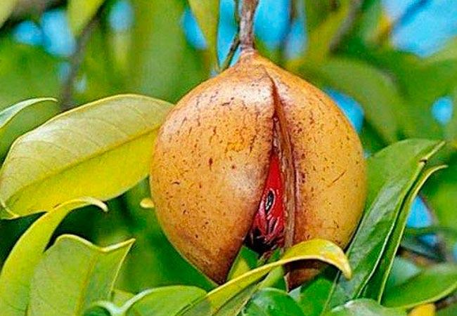 Описание и состав масла мускатного ореха