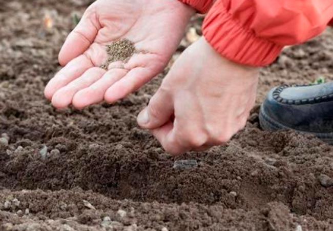 Как сажать морковь в открытый грунт