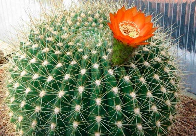 Кактус лобивия: выращивание и уход в домашних условиях