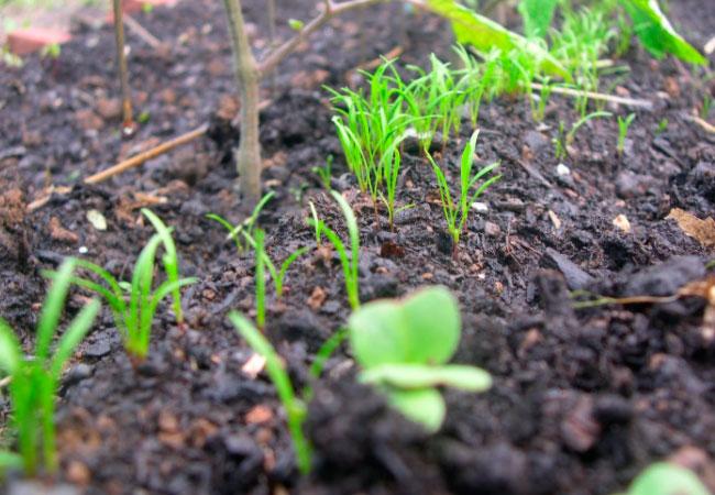 Можно ли в июне посадить морковь