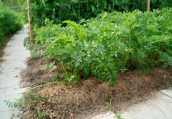 Органическая мульча для моркови