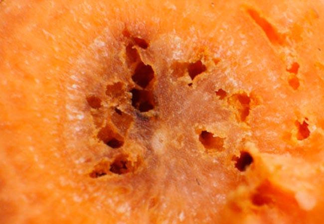 Морковь, поврежденная проволочником