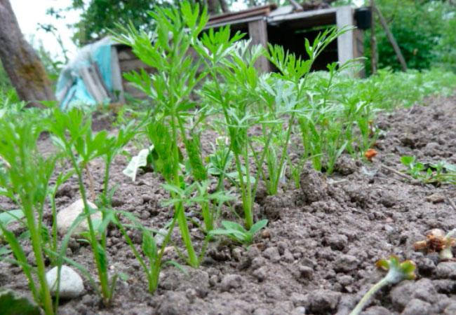 Как посадить морковь в крахмале