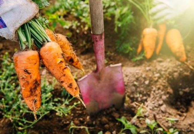 Когда копать морковь в грядках для хранения на зиму
