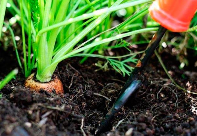 Когда нужно копать морковь