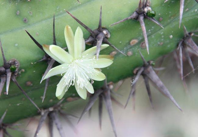 Миртиллокактус, цветение