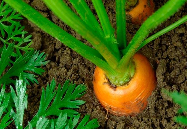 Правила внесения дрожжей в морковные гряды